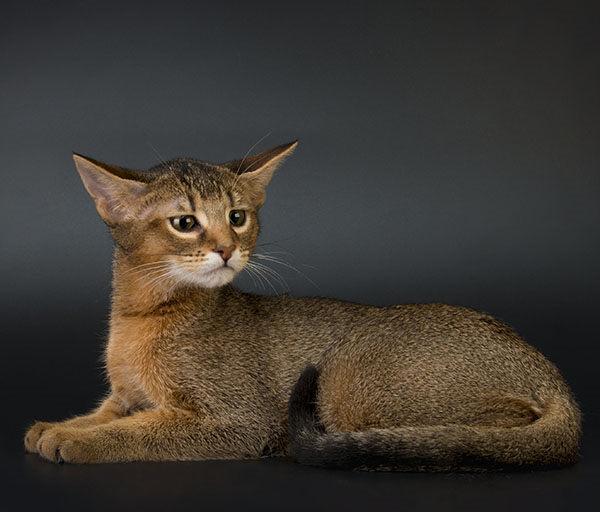 gato Chausie