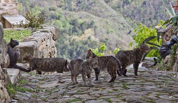 Celo en gatos