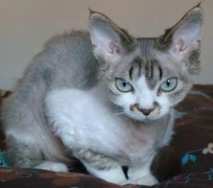 Gato-Devon-Rex-blanco-y-gris