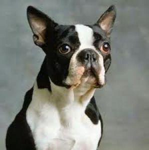 Boston Terrier negro con marcas blancas