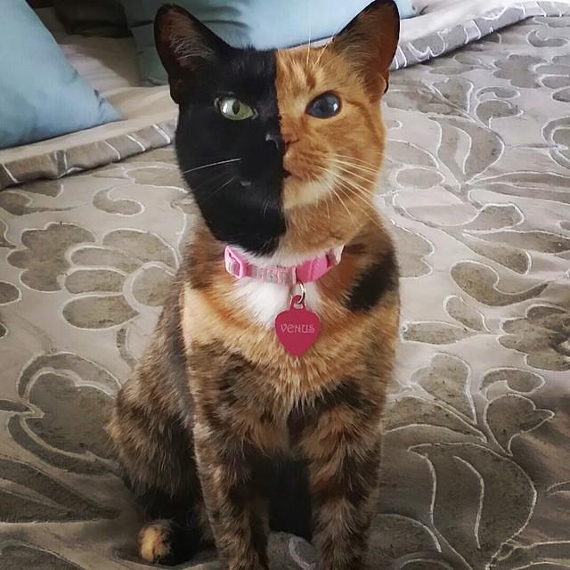 gato-quimera-venus