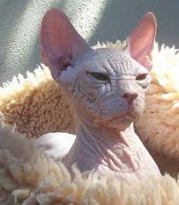 gato-sin-pelo-Kohana