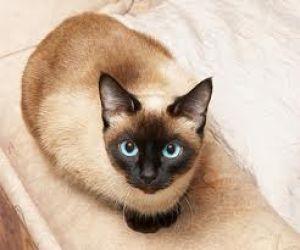 Gato siamés tradicional, llamado cabeza de manzana.