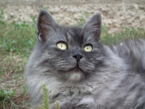 Gatos hipoalergenicos raza siberiano