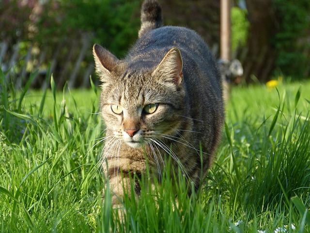leucemia felina