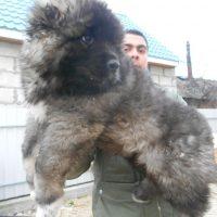pastor caucasico