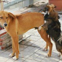 porque un perro macho monta a otro macho