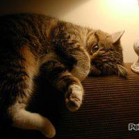 hacer adelgazar gato gordo