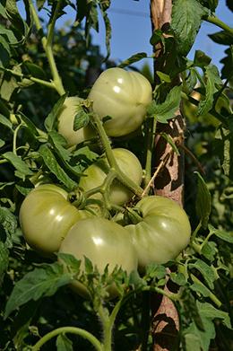 Tomates verdes y hojas verdes del tomate.