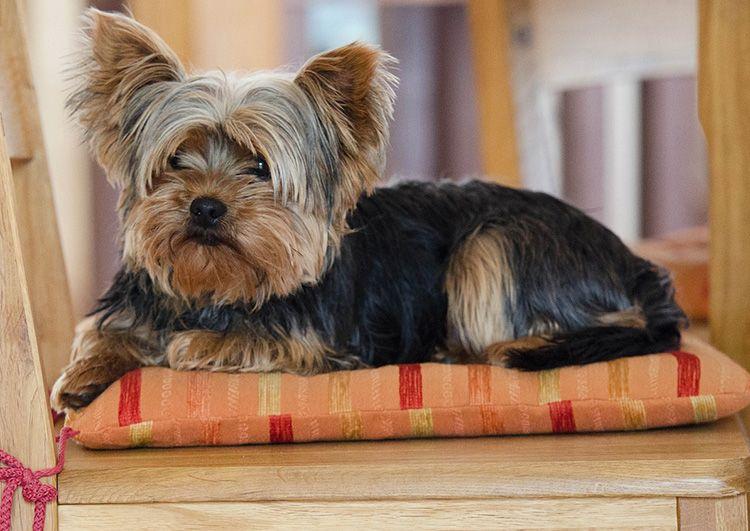 razas perros que no tiran pelo