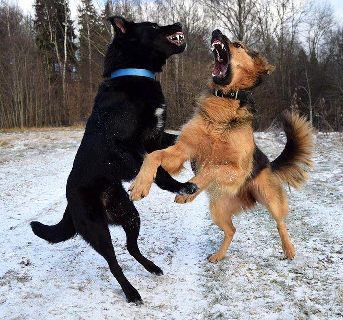 perra en celo agresiva