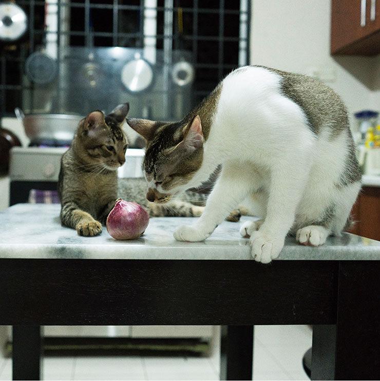 frutas y verduras toxicas para gatos