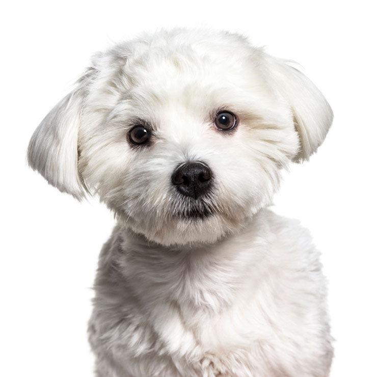 Bichón Maltés Precio Características Y Cuidados Razas De Perros