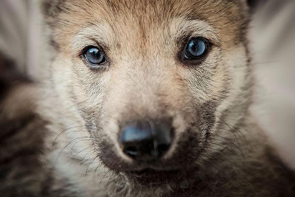 cachorro perro lobo checoslovaco