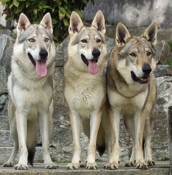perros lobos