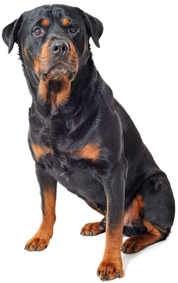perros rottweiler caracteristicas