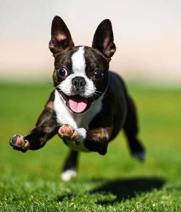 perro boston terrier bebe