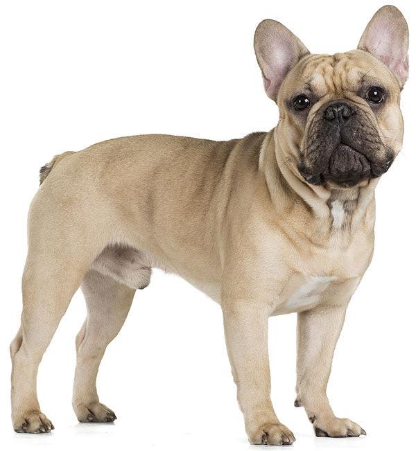 cachorro bulldog frances fawn