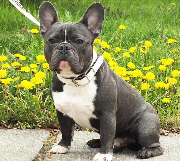 perro bulldog frances raza