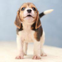 beagle perros