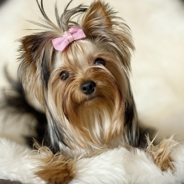yorkshire terrier bebe