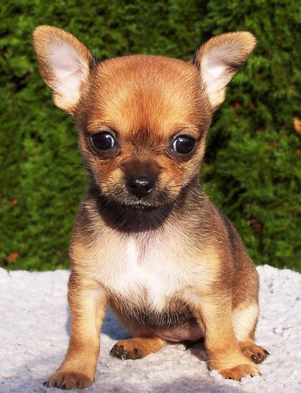 perro chihuahua bebé