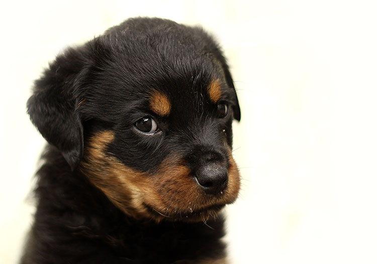 displasia cadera en perros sintomas