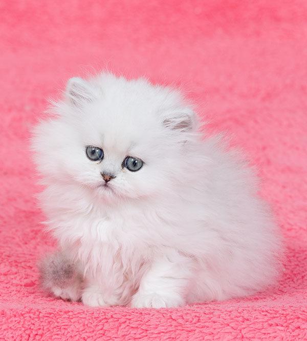 gato persa bebe blanco