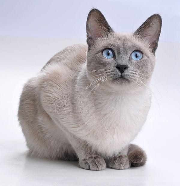 siamés azul gris
