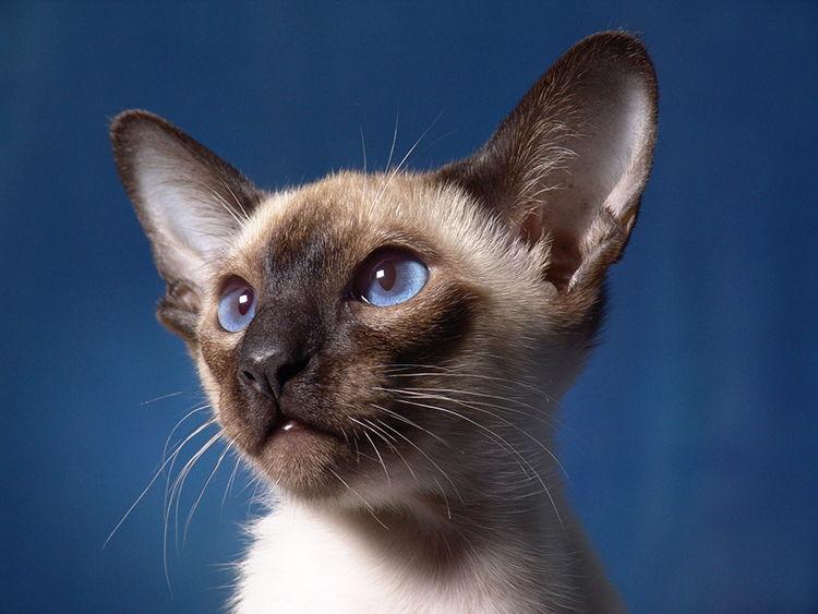 gato siames como son