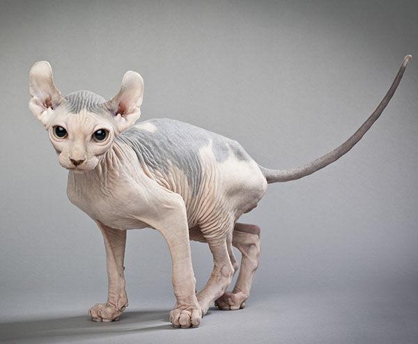 tipos de gato sin pelo