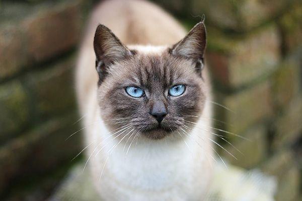 gato siames gris