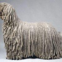 perro-komondor