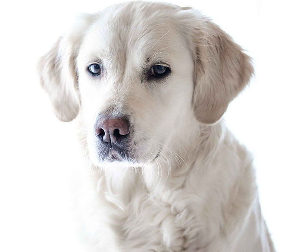 curiosidades perros golden