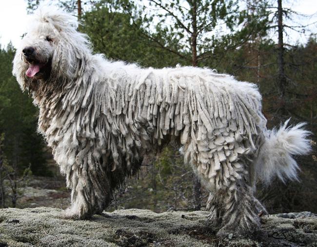 razas de perros que no sueltan pelo