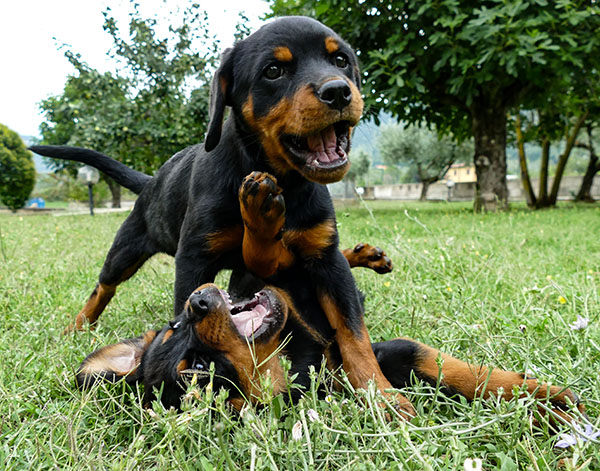 rottweiler cachorro