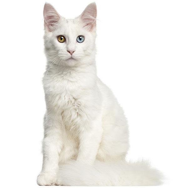 gato angora bebe