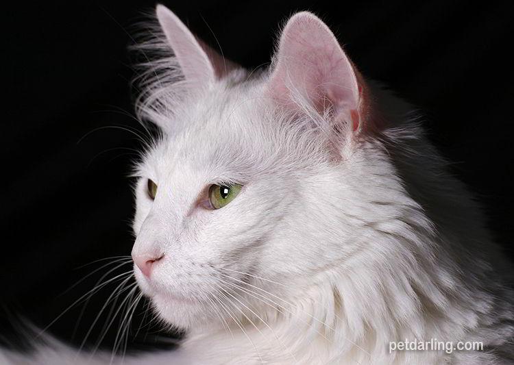 foto gato angora turco blanco
