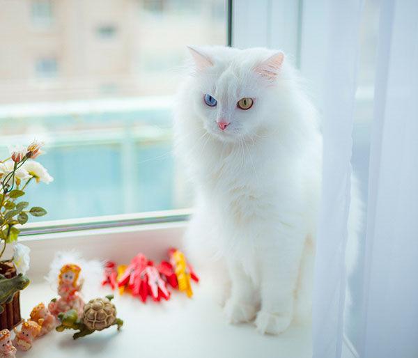 gatito angora blancos