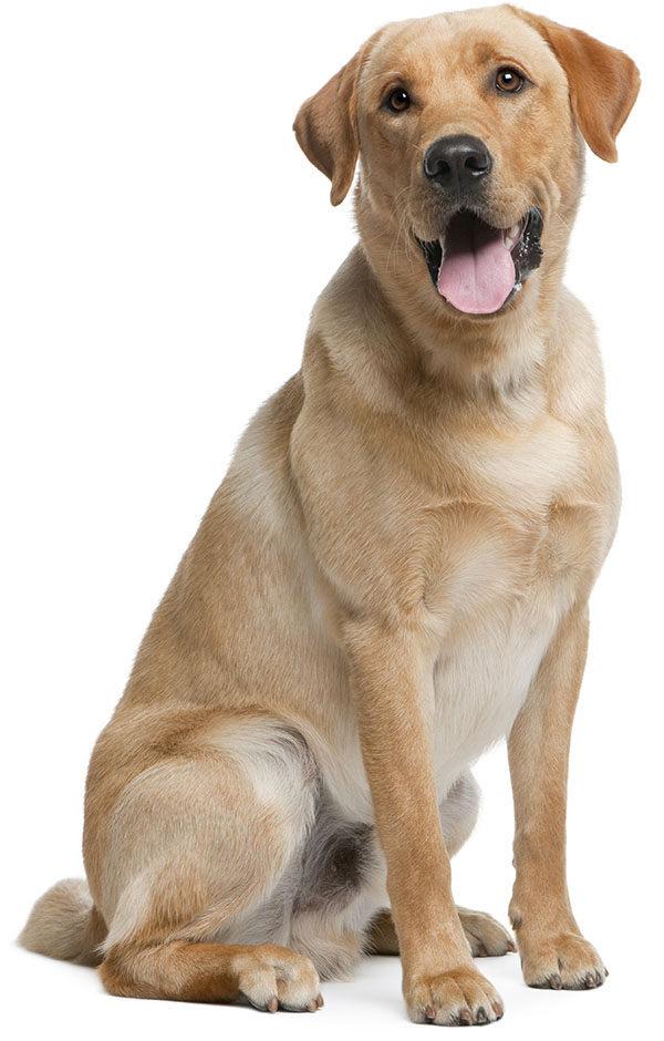 perros labrador retriever