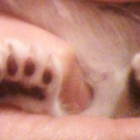 gato seis dedos pata atras
