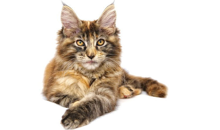 Maine Coon atigrado