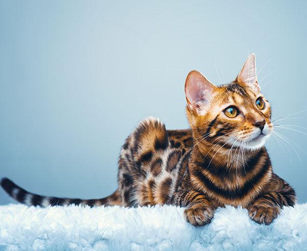 carácter gato bengala