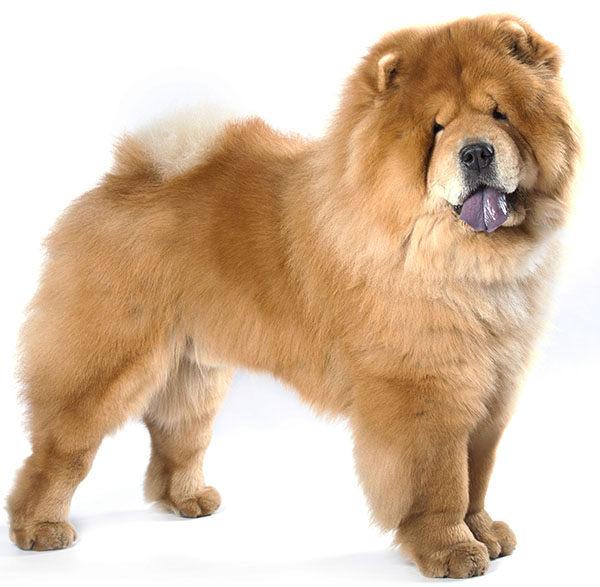 perro chowchow