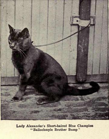 historia gato azul ruso origen