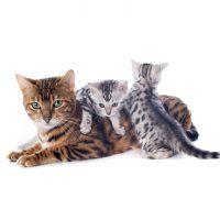 gato bengali carácter