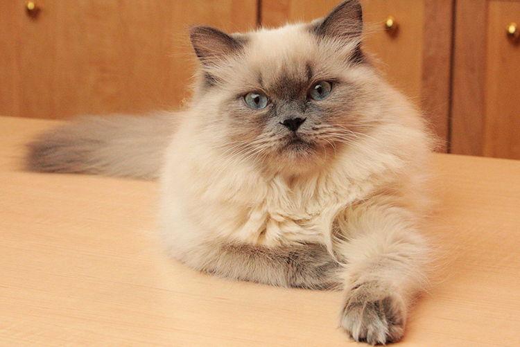 gatos-himalayos