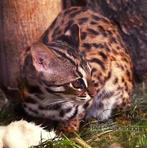 gato leopardo