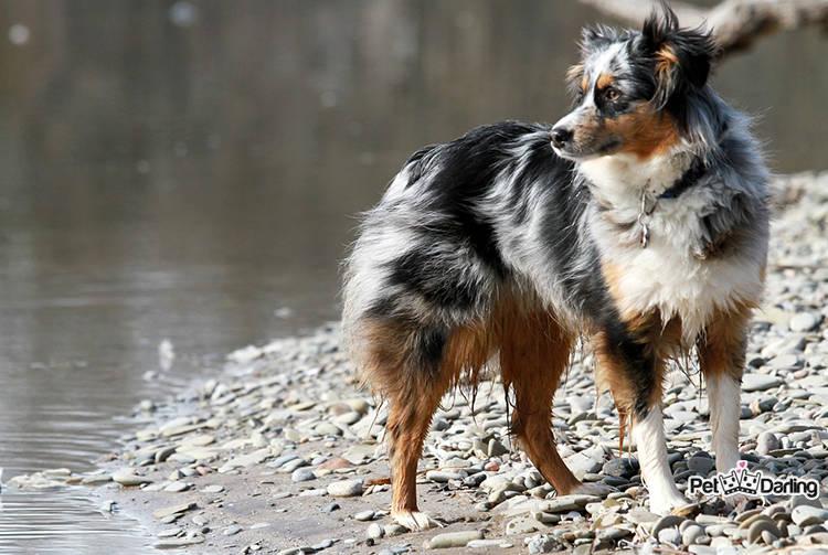 origen historia perro pastor australiano