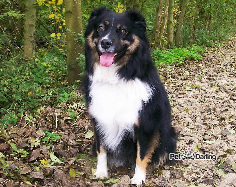 caracteristicas pastor australiano raza perros